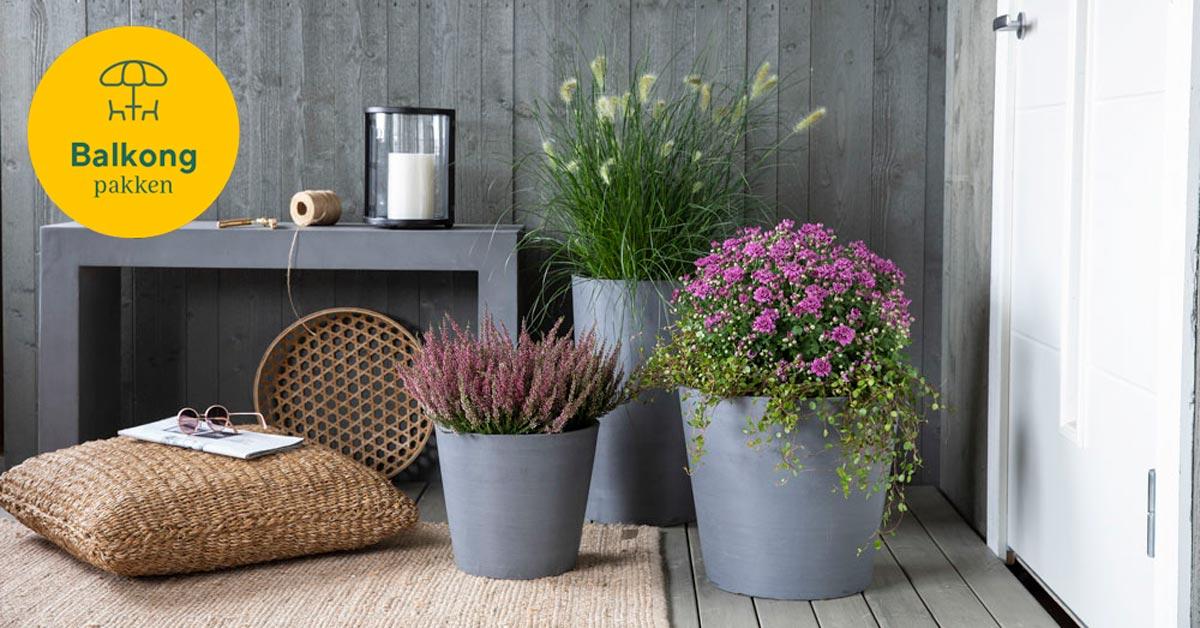 Balkongpakken: Tre potter med lilla blomster på en platting foran inngangsdøren